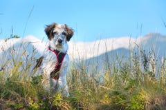 在草和高山的白色和黑模糊的狗在背景 免版税库存图片