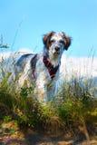 在草和高山的白色和黑模糊的狗在背景 库存图片