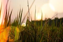 在草和麦子农场后的太阳设置 图库摄影