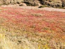 在草土地场面背景地板上的红色石南花  图库摄影