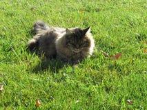 在草地动物的猫 免版税图库摄影