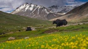 在草地在夏天, Leh,拉达克,查谟克什米尔的黑牦牛, 库存照片