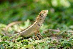 在草地板上的黄色蜥蜴 库存照片