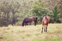 在草地的两匹马 免版税库存照片