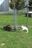 在草地的两只小袋鼠 图库摄影