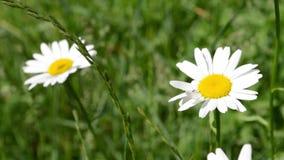 在草地的两朵雏菊 股票录像