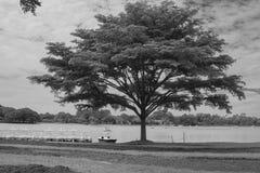 在草地的单独树在湖附近在公园 免版税库存照片