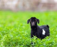 在草地的小山羊 免版税库存照片