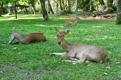在草地的幼小鹿 免版税库存图片