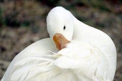 在草地的鸭子 库存照片