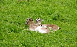 在草地的Goatlings 免版税库存图片