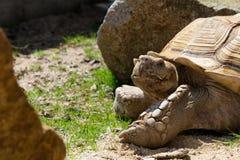 在草地面的大非洲被激励的草龟 库存图片