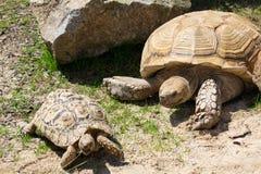在草地面的小和大非洲被激励的草龟 库存图片