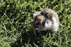 在草坪关闭的仓鼠 免版税库存照片