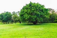 在草坪的一棵美丽的大树在有白色天空的公园 免版税库存照片
