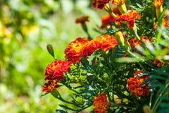 在草坪的万寿菊花 免版税库存图片