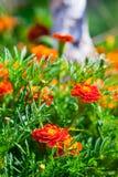 在草坪的万寿菊花 库存照片