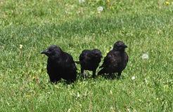 在草坪的三只黑乌鸦 免版税库存照片