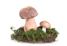 在草坪的两个蘑菇 库存图片