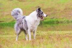 在草坪的博德牧羊犬 免版税库存图片