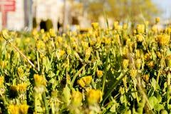 在草坪的城市蒲公英 库存照片