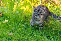 在草坪的小的平纹雄猫 免版税库存图片