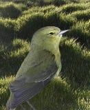 在草坪的小鸟 免版税库存照片