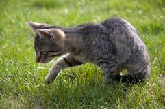 在草坪的平纹小猫 免版税库存图片