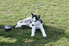 在草坪的幼小灰色爱斯基摩 图库摄影