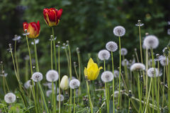 在草坪的春天绽放 免版税库存照片