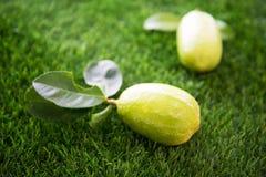 在草坪的有机柠檬 免版税库存图片