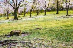 在草坪的樱花树 免版税图库摄影