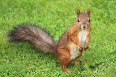 在草坪的灰鼠 免版税库存照片