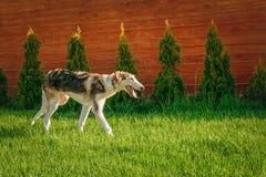 在草坪的狗品种俄国灵狮戏剧在庭院里在一好日子 复制空间 库存图片