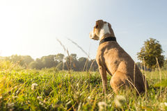 在草坪的狗 免版税图库摄影