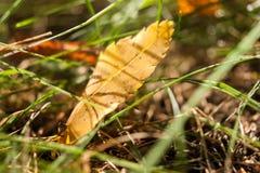 在草坪的第一片早期的秋天黄色叶子在阳光下 库存图片
