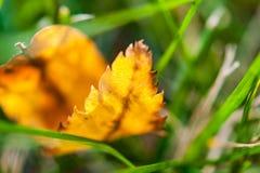 在草坪的第一片早期的秋天黄色叶子在阳光下 免版税库存图片