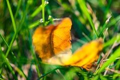 在草坪的第一片早期的秋天黄色叶子在阳光下 免版税库存照片