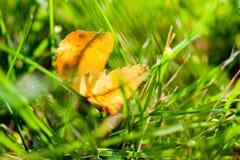 在草坪的第一片早期的秋天黄色叶子在阳光下 免版税图库摄影