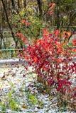 在草坪的红色灌木在用雪盖的都市公园 免版税图库摄影
