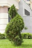 在草坪的绿色金钟柏有豪华的草的,被剪以螺旋的形式 免版税库存照片