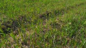 在草坪的绿草在春天在干草原的 特写镜头 股票录像