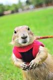 在草坪的草原土拨鼠逗人喜爱的宠物 图库摄影