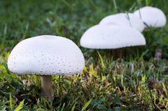 在草坪的蘑菇 库存图片
