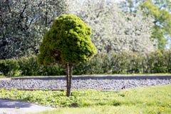 在草坪的装饰矮小的树在房子附近 库存照片