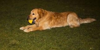 在草坪的金毛猎犬 免版税图库摄影