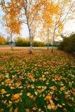 在草坪的金黄叶子 免版税库存照片