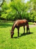 在草坪的马 免版税图库摄影