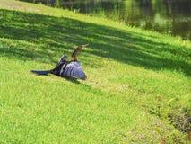 在草坪的鸬鹚干燥在池塘旁边 免版税库存图片