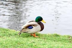 在草坪的鸭子在水附近 图库摄影
